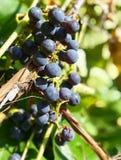 t?a winogrona odosobniony winogradu biel obraz stock