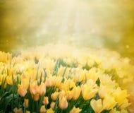 tła wiosna tulipany Fotografia Stock