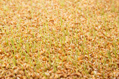 tła zarazka ilustracyjny pszeniczny biel Zdjęcie Royalty Free