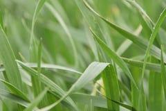 tła zarazka ilustracyjny pszeniczny biel Fotografia Royalty Free