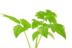 tła zarazka zieleni biel Zdjęcia Stock