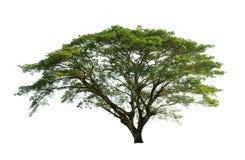 tła zieleni odosobniony drzewny biel Zdjęcia Royalty Free