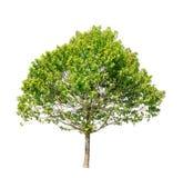 tła zieleni odosobniony drzewny biel Obraz Royalty Free
