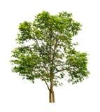 tła zieleni odosobniony drzewny biel Obraz Stock