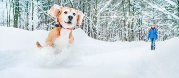 stock image of  active beagle dog running in deep snow. winter walks with pets concept image