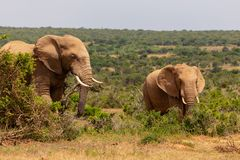 stock image of  adult elephant and baby elephant walking together in addo national park