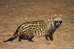 stock image of  african civet