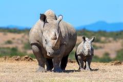 stock image of  african white rhino
