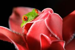 stock image of  agalychnis callidryas, red-eyed tree frog, animal with big red eyes, in nature habitat, costa rica. beautiful amphibian in the nig