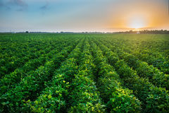 stock image of  agricultural industry farm growing genetically modified food on field.