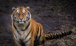 stock image of  amur tiger