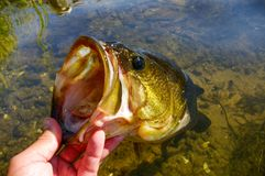 stock image of  large mouth bass lipped after being caught fishing