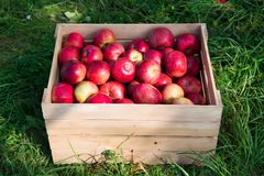 stock image of  apples red ripe fruits in wooden box on grass. apple harvest concept. ripe organic fruits in garden. autumn fruit and