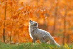 stock image of  arctic polar fox running in orange autumn leaves. cute fox, fall forest. beautiful animal in the nature habitat. orange fox, detai