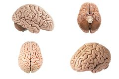 stock image of  artificial human brain model indifferent view
