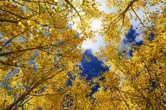 stock image of  aspen grove