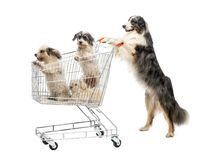 stock image of  australian shepherd standing on hind legs and pushing a shopping cart with dogs against white background