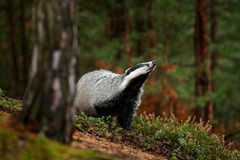 stock image of  badger in forest, animal nature habitat, germany, europe. wildlife scene. wild badger, meles meles, animal in wood. european badge