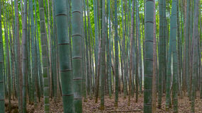 stock image of  bamboo forest