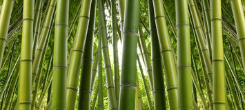 stock image of  bamboo grove