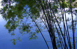 stock image of  bamboo trees in grove