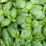 stock image of  basil