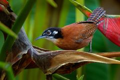 stock image of  bay wren - cantorchilus nigricapillus is a highly vocal wren species of forested areas, especially along watercourses, in the