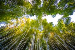 stock image of  beautiful bamboo grove tree in arashiyama