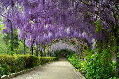 stock image of  beautiful purple wisteria in bloom. blooming wisteria tunnel in a garden near piazzale michelangelo in florence