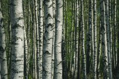 stock image of  birch tree trunk textured background pattern