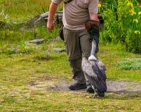 stock image of  bird trainer wearing a bird glove and feeding a vulture, wild bird entertainment show, popular animal hobbies