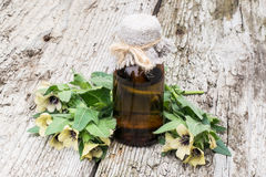 stock image of  black henbane (hyoscyamus niger) and oil