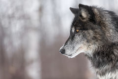 stock image of  black phase grey wolf canis lupus profile copy space
