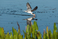 stock image of  black skimmer rynchops niger