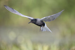 stock image of  black tern, chlidonias niger