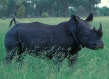 stock image of  botswana: a rhino in the wilderness