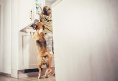 stock image of  boy and beagle dog look something delicious in refrigerator