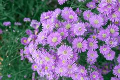 stock image of  brachycome multifida or another name is daisy purple, a short-lived annual crops like loose bile drainage, like the sun.