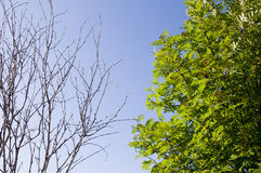 stock image of  branch of birch with leaves and without on the background with blue sky. summer contrast. opposites