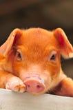 stock image of  brown piglet series 4