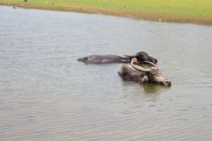 stock image of  buffalo lived in the water.
