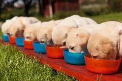 stock image of  bunch of small labrador puppies eating from their bowls arranged in a row