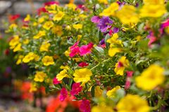 stock image of  calibrachoa in bloom
