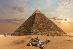 stock image of  a camel by the pyramid of chephren, giza, egypt