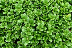stock image of  carissa holly bush, evergreen, compact plant, 24 inches