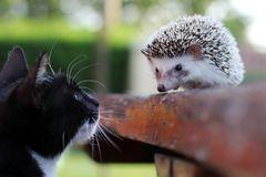 stock image of  a cat and a hedgehog friend