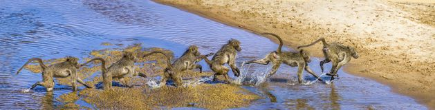 stock image of  chacma baboon in kruger national park, south africa