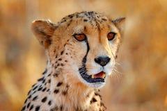 stock image of  cheetah face, acinonyx jubatus, detail close-up portrait of wild cat. fastest mammal on the land, etosha np, namibia. wildlife