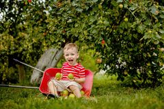 stock image of  child picking apples on a farm. little boy playing in apple tree orchard. kid pick fruit and put them in a wheelbarrow. baby