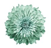 stock image of  chrysanthemum turquoise-green. flower on isolated white background with clipping path without shadows. close-up. for design.
